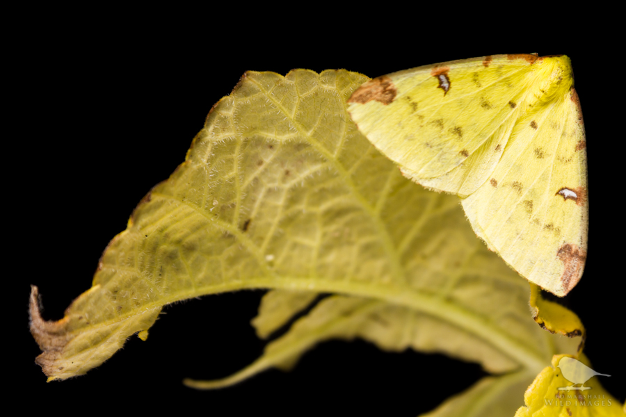 Brimstone Moth Opisthograptis luteolata - black background