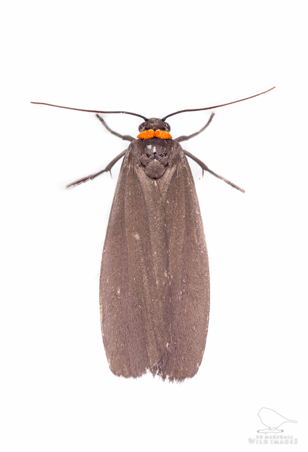 Red-necked footman Atolmis rubricollis
