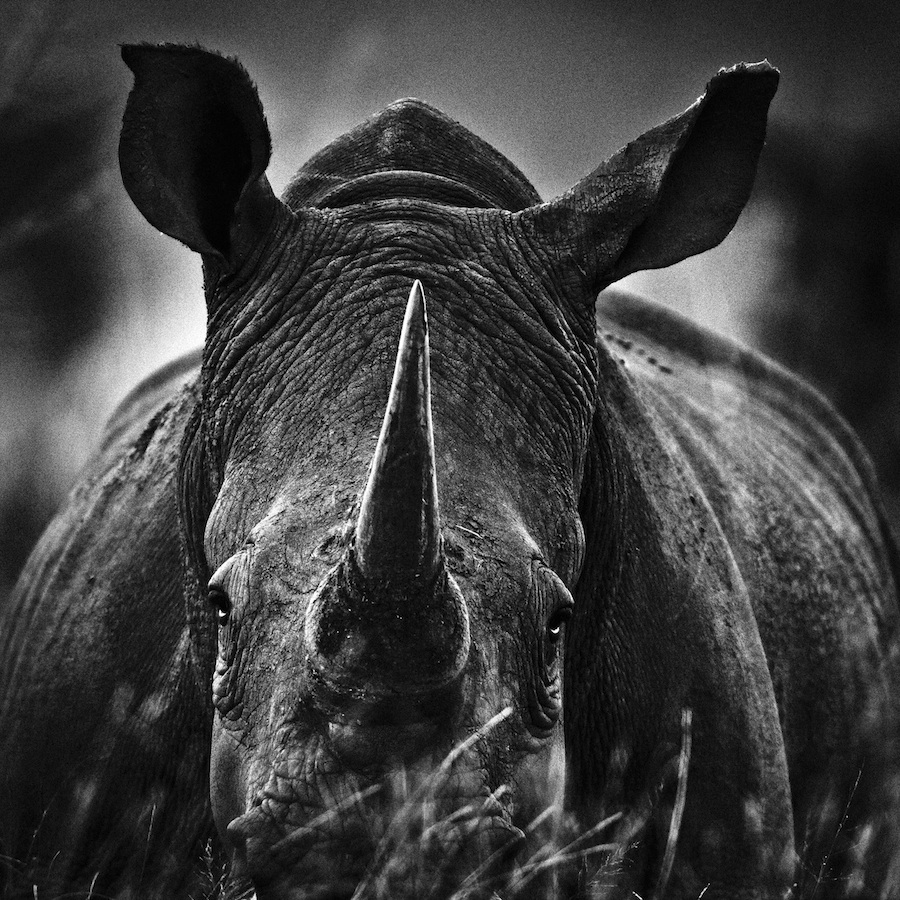 Laurent Baheux - Rhino portrait, South Africa, 2004 - 900 x 900 - 72 dpi